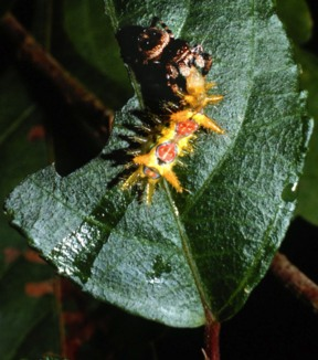 Jumping spider devouring tropical caterpillar