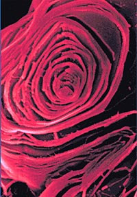 "This boric acid ""rose"" shows the intricately layered microscopic structure of the compound."