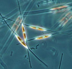 By manipulating the genes responsible for silica production in diatoms � unicellular algae that encase themselves in intricately patterned, glass-like shells � scientists hope to produce faster computer chips.