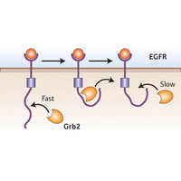 Figure 1: The initial �fast� association of EGFR with Grb2 is believed to lead to a conformational change in the receptor; when the first Grb2 molecule dissociates, the receptor initially maintains this new �slow� conformation, which markedly reduces the affinity of Grb2 and reduces the rate of subsequent binding interactions.