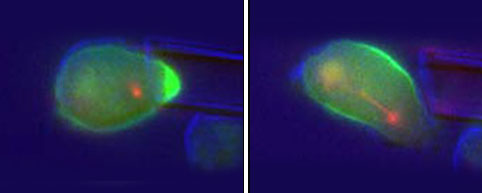 Left: Contractile proteins (bright green) accumulate where micropipette deforms cell shape. Right: Contractile proteins redistribute along cell�s midsection to drive division; mitotic spindle�microtubules apparent in early stages of cytokinesis�shown in red. Credit: Robinson Lab / JHU