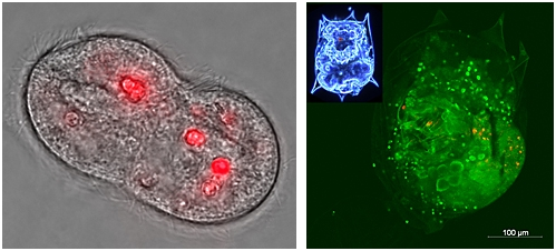 Photomicrograph of ciliate T. pyriformis (l.) during cell division with accumulated quantum dots appearing red and closeup photomicrograph of rotifer B. calyciflorus (r., whole organism seen in upper left corner) with quantum dots assimilated from ingested ciliates appearing red.