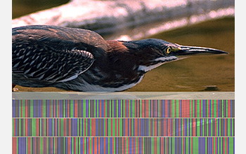 "This heron is shown with its ""DNA barcode,"" which provides biologists with information about its relationship to other animals.