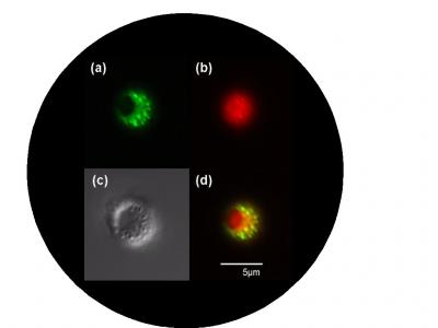 Pictured are micrographs of microcapsule syringes. a) Blue laser light shows lithographic microcapsule shell in green. Hole in the encapsulation can be seen as discontinuous circle. b) Green laser light shows the red dye loaded into the microcapsule. c) Differential Interference Contrast microscope image of microcapsule. d) Overlay of a) and b) showing image of filled capsule.