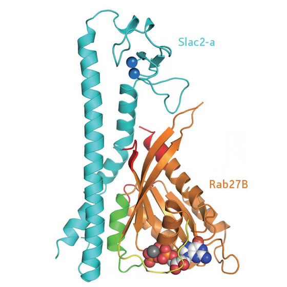 Figure 1: Diagram of the structure of the Rab27B/Slac2-a complex.