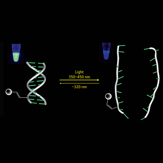 Figure 1: This figure shows the reversible formation and destabilization of a DNA complex by a photochromic nucleoside (PCN) that changes formation under differing light conditions. The changes are monitored by fluorescence.