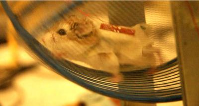 This image shows a hamster wearing a jacket on which nanogenerators are attached. The generators produce electricity as the animal runs and scratches.
