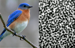 Prum and Dufresne discovered that the nanostructures that produce some birds' brightly colored plumage, such as the blue feathers of the male Eastern Bluebird, have a sponge-like structure. (Photo: Ken Thomas)