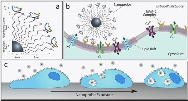In a, chlorotoxin molecules, colored blue and green, attach themselves to a central nanoparticle. In b, each nanoprobe offers many chlorotoxin molecules that can simultaneously latch on to many MMP-2s, depicted here in yellow, which are thought to help tumor cells travel through the body. In c, over time nanoprobes draw more and more of the MMP-2 surface proteins into the cell, slowing the tumor's spread.