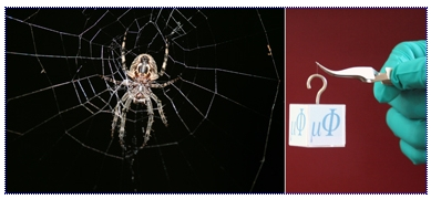 Fig.: Endurance test for spider silk: in many ways, spider silk - here the picture of a garden cross spider in its web- is stronger than a metal wire of the same thickness. After researchers at the Max Planck Institute for Microstructure Physics infiltrated spider silk with metal ions, a double-strand of silk can support the weight of a cube of 27.5 grams, three times more than an untreated strand.