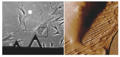 Live MRC-5 fibroblasts.  Phase contrast optical image of an AFM cantilever positioned over a cell (left, inset box) and 3D rendering of the AFM amplitude channel (right).  The image was acquired in culture medium using AC mode, 80�m scan.