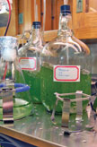 Two strains of algae are being grown in the laboratory for testing the nanofarming technology.