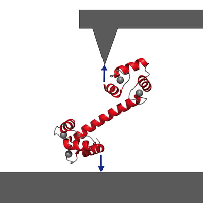Getting a handle on signaling protein calmodulin via atomic-force spectroscopy. (Image: M. Rief, TUM Dept. of Physics)