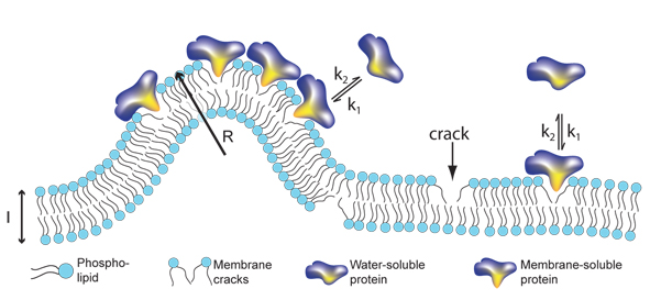 Signalling proteins like to bind to cracks in membranes. The more curved the membrane is, the more places for binding of proteins. This model relates for the first time the size of transport container with the amount of bound protein.