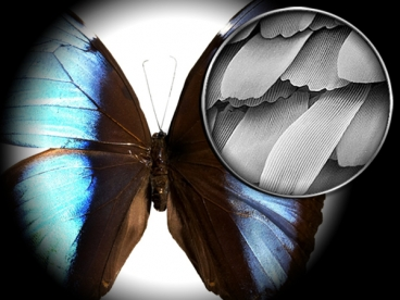 An electron microscope image of a butterfly's wings.