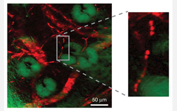Stimulated emission image of the microvascular network in a mouse's ear. The sample shows in red the blood vessel network surrounding green-colored sebaceous glands. Sebaceous glands are microscopic glands located in skin that secrete an oily and waxy matter used to lubricate the skin and hair of animals. A technique called confocal reflectance was simultaneously used to record the green-colored sebaceous glands. The image is based on contrasts of non-fluorescent hemoglobin molecules.