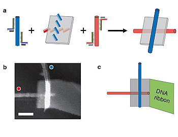 "(a) Single-wall carbon nanotubes labeled with ""red"" and ""blue"" DNA sequences attach to anti-red and anti-blue strands on a DNA origami, resulting in a self assembled electronic switch. (b) An atomic force microscopey image of one such structure. The blue nanotube appear brighter because it is on top of the origami; the red nanotube sits below. Scale bar is 50 nm. (c) A diagrammatic view of the structure shown in b. The gray rectangle is the DNA origami. A self-assembled DNA ribbon attached to the origami improves structural stability and ease of handling. [Credit: Paul W. K. Rothemund, Hareem Maune, and Si-ping Han/Caltech/Nature Nanotechnology]"