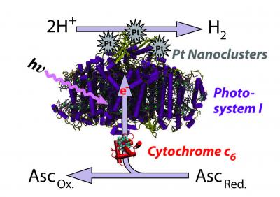 This image shows the process by which Photosystem I in thermophilic blue-green algae can be catalyzed by platinum to produce a sustainable source of hydrogen. The system was highlighted in a paper by University of Tennessee, Knoxville research Barry Bruce, et al. in Nature Nanotechnology.