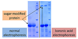 The new method (right) distinguishes between the sugar-modified and unmodified proteins much better than the traditional gel electrophoresis method (left)