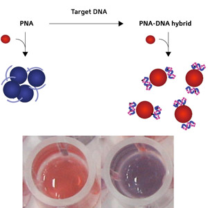Fig. 1: Schematic diagram showing the conversion of PNA to a PNA–DNA complex (top) and photographs (bottom) of gold nanoparticle solutions with the addition of a PNA–DNA complex (left) and PNA (right).