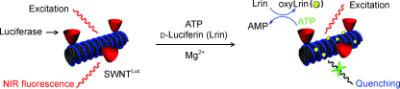 Take the tube: The title conjugate provides spatiotemporal information of ATP in living cells by a two-step fluorescence quenching mechanism. OxyLrin, which is generated enzymatically in the reaction between ATP and D-luciferin (Lrin), is adsorbed onto the nanotubes and quenches their fluorescence (see picture). The sensor is highly selective toward ATP.