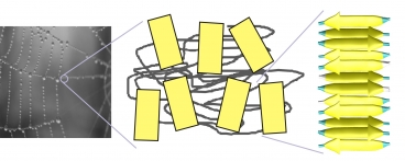 Structure of silk. The yellowish regions are the key cross-linking domains in silk, beta-sheet crystals. Spider web photograph courtesy Nicolas Demars.