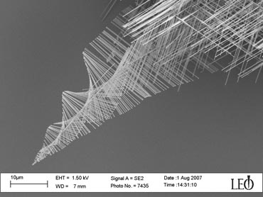 "Spiraling pine tree-like nanowires created by University of Wisconsin-Madison chemistry professor Song Jin and graduate student Matthew Bierman are evidence of an entirely different way of growing the tiny wires, one that could be harnessed to make better nanowires for applications such as high performance integrated circuits, LEDs and lasers, biosensors, and solar cells. The rapid elongation of the trunks is driven by a spiral defect within them called ""screw dislocation,"" which causes them to twist as they grow and their branches to spiral. Photo by: courtesy Song Jin"