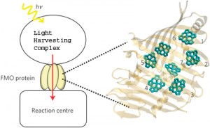 The schematic on the left shows the absorption of light by a light harvesting complex and the transport of the resulting excitation energy to the reaction center through the FMO protein. On the right is a monomer of the FMO protein, showing its orientation relative to the antenna and the reaction center. The numbers label FMO�s seven pigment molecules. (Image from Mohan Sarovar)