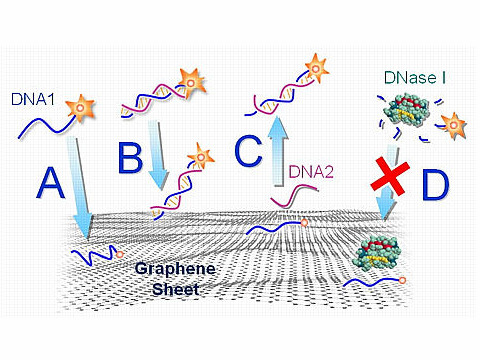 An illustration of how fluorescent-tagged DNA interacts with functionalized graphene. Both single-stranded DNA (A) and double-stranded DNA (B) are adsorbed onto a graphene surface, but the interaction is stronger with ssDNA, causing the fluorescence on the ssDNA to darken more. C) A complimentary DNA nears the ssDNA and causes the adsorbed ssDNA to detach from the graphene surface. D) DNA adsorbed onto graphene is protected from being broken down