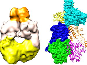 Left: The newly derived 3D map of a bacterial phytochrome dimer, produced using cryo electron microscopy. Right: By fitting x-ray crystal structures of several homologous fragments into this map, scientists have created an atomic model of the whole structure. The two monomers making up the complete structure � one shown as a �ribbon� diagram, the other using a space-filling display � dimerize in parallel with the two polypeptides intimately twisting around each other.