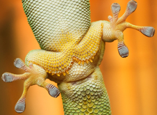 Geckos can move on virtually all surfaces, vertical and horizontal, due to their foot pads.  Photo by iStock.