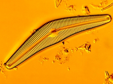 An image of a species of diatom, Cymbela cistula. Markus Buehler says diatoms are a good example of the way weak building blocks � in this case, fragile and brittle silica � can be used in biology to build strong and durable materials, by assembling them in structures organized differently at different scales. Image: NSF