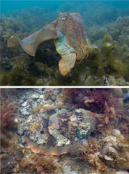 Giant Australian cuttlefish, Sepia apama, in a conspicuous pattern while swimming, and then in a camouflaged pattern that combines �mottle� with �disruptive� coloration. Credit: Roger Hanlon.