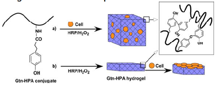Formation of Gtn�HPA hydrogels by enzyme-catalyzed oxidation for (a) 3D and (b) 2D cell growth/differentiation.
