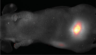 C dots fluoresce brightly enough to be seen through the skin of a mouse (faintly visible in this photo). Dots coated with polyethylene glycol have all reached the bladder in 45 minutes, demonstrating that C dots will be harmlessly excreted after they do their job. Credit Memorial Sloan Kettering Cancer Center