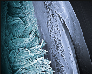 False-colored scanning electron micrograph of arrays of â-keratin nanofibers found in barbs of Blue Penguin (Eudyptula minor) feathers. The fibers produce a non-iridescent structural blue color by coherent light scattering and constitute a novel morphology for feathers. Photo by Liliana D'Alba