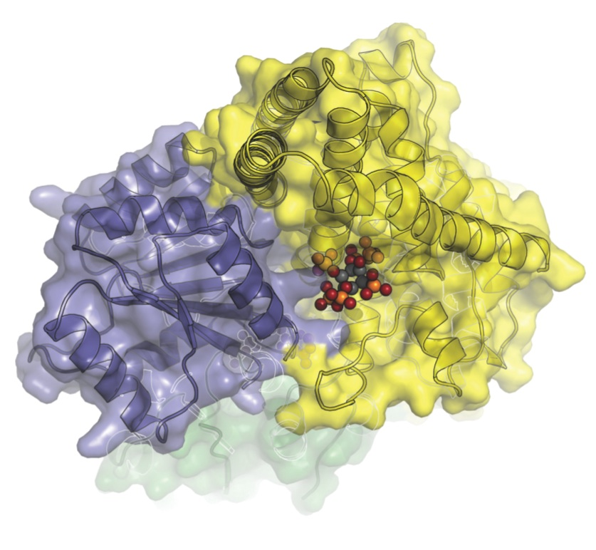 The closest look yet at the molecular machinery that helps transport messenger RNA from a cell�s nucleus. In this image, Dbp5 (blue-grey) and Gle1 (yellow) are glued together by IP6 (colored spheres). (Image courtesy of Karsten Weis� and James Berger�s labs)