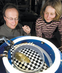 Hanlon and Mathger: MBL Senior Scientist Roger Hanlon and Assistant Research Scientist Lydia M�thger test the ability of a cuttlefish to adapt to a disruptive background pattern. Photo by T. Kleindinst.