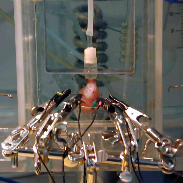 Langendorff heart apparatus Source: Andreas Stampfl / ACSnano, American Chemical Society