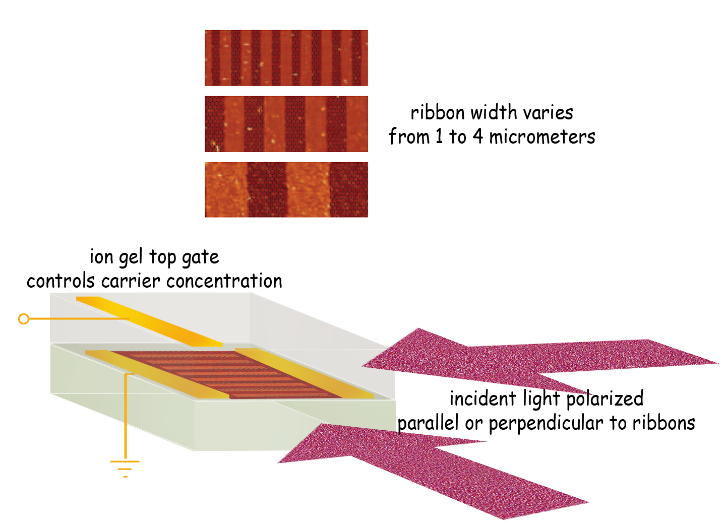 The graphene microribbon array can be tuned in three ways. Varying the width of the ribbons changes plasmon resonant frequency and absorbs corresponding frequencies of terahertz light. Plasmon response is much stronger when there is a dense concentration of charge carriers (electrons or holes), controlled by varying the top gate voltage. Finally, light polarized perpendicularly to the ribbons is strongly absorbed at the plasmon resonant frequency, while parallel polarization shows no such response.