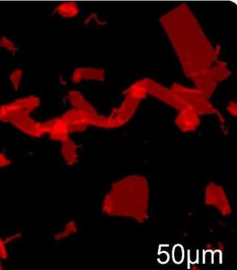 Fluorescence microscope image of nanosheets (some overlapped and folded) formed by manually shaking a vial, labeled with Nile Red dye and depositing solution on an agarose substrate. (Zuckerman, et. al)