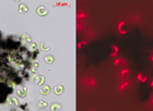 "Carbon nanotubes are not poisonous to green algae, but they do slow the growth of these organisms at high concentrations because they cause clumping which leads to the algae receiving less light. Left: intact algae (green) in a clump of carbon nanotubes (black). Right: ""normal"" photosynthetic activity of the algae (red) made visible by fluorescence."