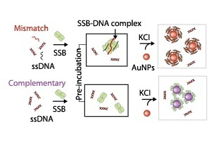 Schematic illustration showing the mechanism used to probe interactions between single-stranded DNA (ssDNA) and single stranded DNA-binding protein (SSB)
