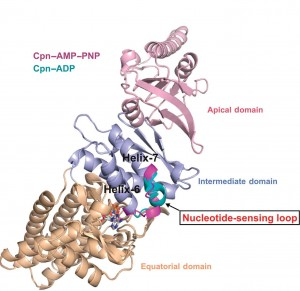 Berkeley Lab researchers at the Advanced Light Source have discovered a nucleotide-sensing loop that synchronizes conformational changes in the three domains of group II chaperonin for the proper folding of other proteins.