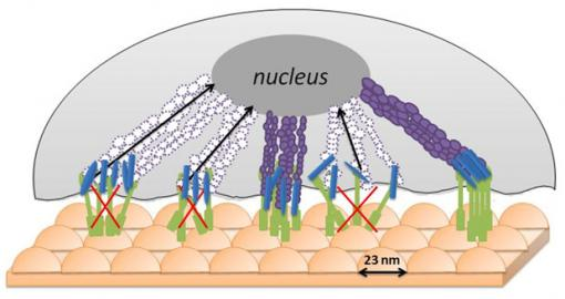 A selectively inhospitable surface A bumpy �bed of nails� surface does not allow cancerous cells to gather the nutrients they need to thrive � possibly because cancerous cells are stiffer and less flexible than normal cells, which can manage the bumps and thrive. Credit: Webster Lab/Brown University
