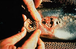 Sea Lamprey1: a Sea Lamprey mouth, close up