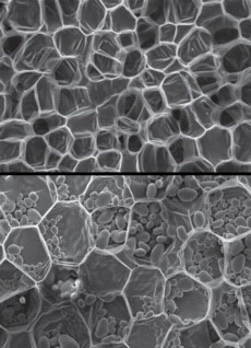 A scanning electron micrograph of carrot, top, and potato, bottom, showing relatively thin-walled cells. The oval objects within the potato tissue are starch granules.