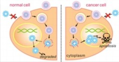 A diagram of the synthesis of degradable nanocapsules into cell nuclei to induce apoptosis, or programmed cell death, in cancer cells. The nanocapsules degrade harmlessly in normal cells.