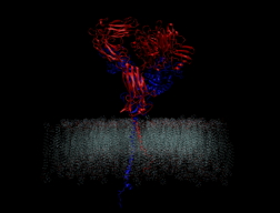 Computer models offer a new look at the molecular machinery that enables cells to interact with their environment. This schematic shows two integrin components (red and blue) protruding from a cell membrane.Credit: Mofrad lab