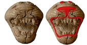 Ancient Phoenician ivory carvings like this lion head that look colorless today (left) actually were adorned with brilliant colors 2,800 years ago (right), scientists are reporting.